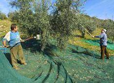 olio evo raccolta olive