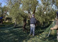 agricoltura ulivi puglia